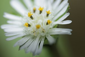 Eclipta prostrata - Flower of Eclipta prostrata - Macro Photography