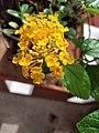 Flower of Lantana camara.jpg