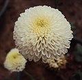 Flowers - Uncategorised Garden plants 305.JPG