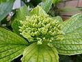 Flowers Nepal 10126.JPG