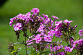 Flowers in Barsana monastery, maramures holiday 2011.jpg
