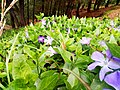 Flowers in rawat.jpg