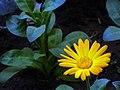 Flowers of Iran گلهای ایران 35.jpg