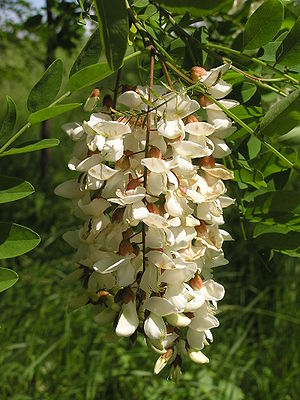 Flowers of Robinia pseudoacacia