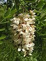 Flowers of Robinia pseudoacacia.jpg