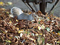 Foraging squirrel (11162153765).jpg