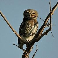 Forest Owlet.jpg