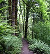 An unpaved path about 2 feet (0.6 meters) wide runs through a forest with a thick understory of ferns.