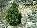 Foresto juniperus.jpg