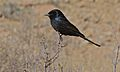 Fork-tailed Drongo (Dicrurus adsimilis) (6549791237).jpg