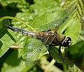 Four-spotted Chaser. Libellula quadrimaculata (43390230724).jpg