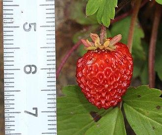 Fragaria iinumae - Image: Fragaria iinumae (fruits with scale)