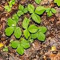 Fragaria vesca in Causse Comtal (1).jpg