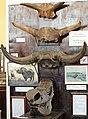 Fragment der Schädel des fossilen Bisons 2H1A0292WI.jpg