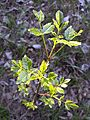 Fraxinus ornus (subsp. ornus) sl1.jpg