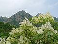 Fraxinus ornus Bulgaria 2.jpg