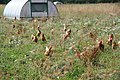 Free range chickens at Maple Farm - geograph.org.uk - 1590781.jpg