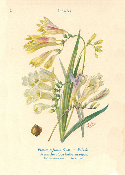 File:Freesia-J.Eudes-02.JPG