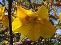 Fremontodendron californicum.jpg