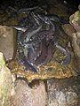 Freshwater Eels - Flickr - GregTheBusker.jpg