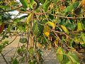 Fruit in Biacou.jpg