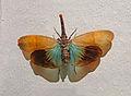 Fulgore de Malaisie-Musée d'histoire naturelle et d'ethnographie de Colmar (2).jpg