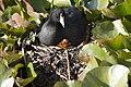 Fulica americana -Klamath Falls, Oregon, USA -nest-8 (2).jpg