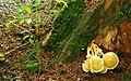 Fungus, Crawfordsburn Glen (10) - geograph.org.uk - 913051.jpg