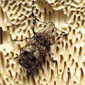Fungus Weevil - Flickr - treegrow (1).jpg