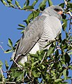Gabar goshawk, Micronisus gabar, at Pilanesberg National Park, Northwest Province, South Africa (28572615482).jpg