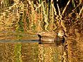 Gadwall at Sunset - Flickr - treegrow (1).jpg