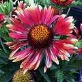 Gaillardia-arizona-red-shades-IMG 0359.jpg