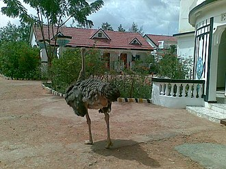 Galkayo - Domesticated ostrich at the Taar City Hotel in Galkayo.