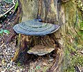 Ganoderma australe, Southern Bracket. Lambroughton, North Ayrshire. A dead elm trunk.jpg