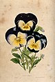 Garden pansies (Viola cultivars); three flowers. Coloured aq Wellcome V0044246.jpg