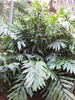 <i>Wallichia</i> genus of plants