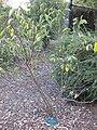 Gardenology.org-IMG 2768 ucla09.jpg