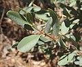 Gastrolobium grandiflorum foliage.jpg