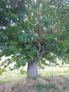 Morus alba wikipedia for Gelso pianta