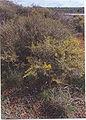 Genista scorpius1.jpg