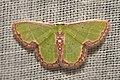 Geometridae (15698869049).jpg