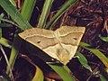 Geometridae - Crocallis elinguaria (8303383180).jpg