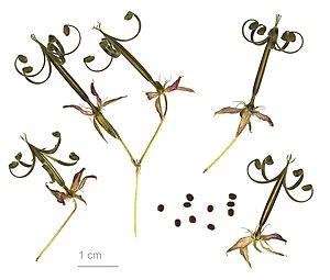 Geranium thunbergii - Geranium thunbergii - MHNT