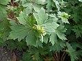 Geranium wlassovianum 2017-06-25 3214.jpg