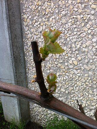 Gewürztraminer - Gewürztraminer vine at budbreak.