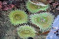 Giant Green Anemones (2513971901).jpg