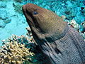 Giant Moray,Gymnothorax javanicus at Gota Kebir, St John's reefs, Red Sea, Egypt -SCUBA (6326280670).jpg