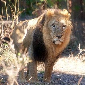 Asad - An Asiatic Lion