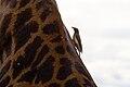 Giraffa camelopardalis -Buphagus erythrorhynchus -Serengeti National Park-8.jpg