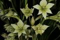 Gladiolus tristis 1DS-II 3-5647.png